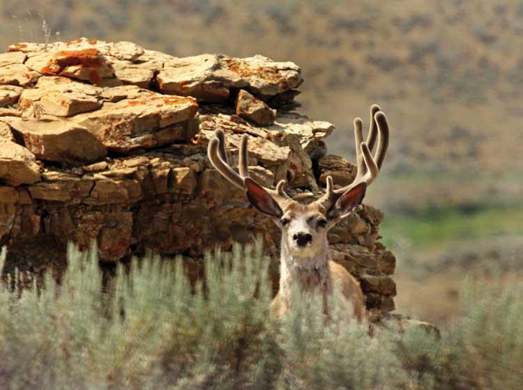 mule-deer-hunting-buffalo-kaycee-wyoming